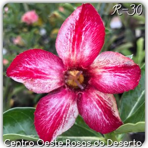 Muda de Enxerto - R-30 - Flor Simples Matizada