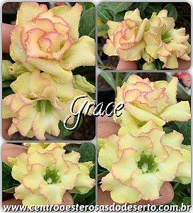 Muda de Enxerto - Grace - Flor Dobrada Importada