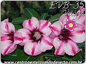 Rosa do Deserto Muda de Enxerto - EVB-035 - Vitória - Flor Simples