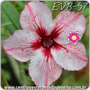 Muda de Enxerto - EVB-057 - Flor Simples