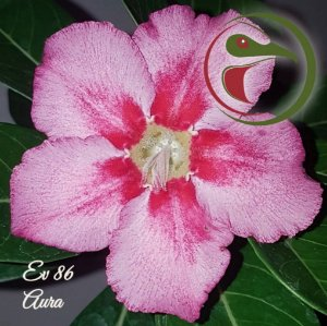 Rosa do Deserto Muda de Enxerto - EV-086 - Aura - Flor Simples