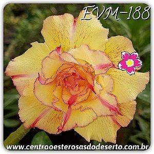 Rosa do Deserto Muda de Enxerto - EVM-188 - Flor Tripla