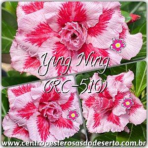 Muda de Enxerto - Ying Ning (RC-510) - Flor Tripla Importada