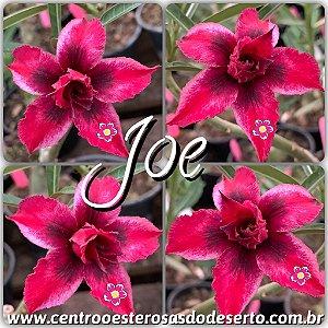 Muda de Enxerto - Joe - Flor Dobrada IMPORTADA