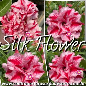 Muda de Enxerto - Silk Flower - Flor Tripla Importada