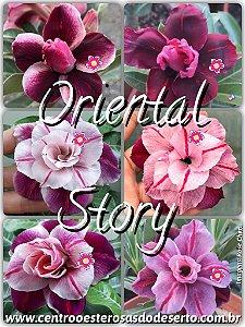 Muda de Enxerto - Oriental Story - Flor Tripla Importada