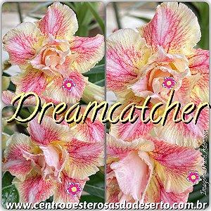 Rosa do Deserto Muda de Enxerto - Dreamcatcher - Flor Dobrada