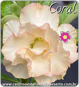 Muda de Enxerto - Coral - Flor Dobrada Importada