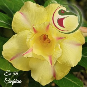 Muda de Enxerto - EV-056 - Confúcio - Flor Dobrada