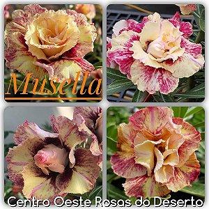 Rosa do Deserto Muda de Enxerto - Musella - Flor Dobrada