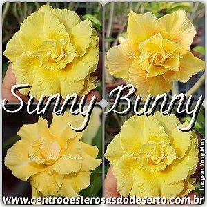 Rosa do Deserto Enxerto - Sunny Bunny