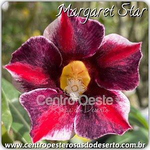 Muda de Enxerto - Margaret Star - Flor Simples IMPORTADA