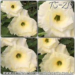 Rosa do Deserto Muda de Enxerto - TS-215 - Flor Tripla