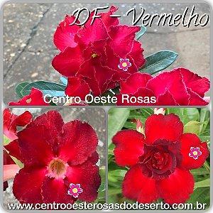 Rosa do Deserto Muda de Enxerto - DF Vermelho - Flor Dobrada
