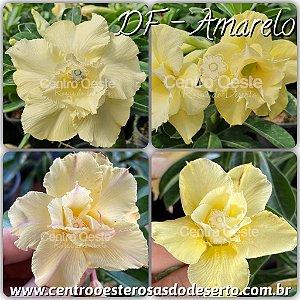 Rosa do Deserto Muda de Enxerto - Flor Dobrada Amarela - Cuia 21