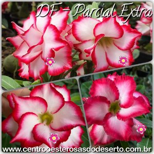 Rosa do Deserto Muda de Enxerto - Flor Parcial Extra Dobrada - Cuia 21