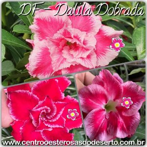 Rosa do Deserto Muda de Enxerto - Flor Dalila Dobrada - Cuia 21