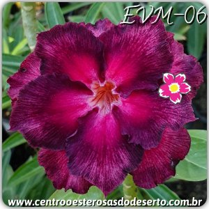 Rosa do Deserto Muda de Enxerto - EVM-006 - Flor Dobrada