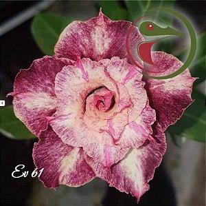 Muda de Enxerto - EV-061 - Flor Dobrada