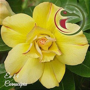 Rosa do Deserto Muda de Enxerto - EV-084 - Cornucópia - Flor Dobrada