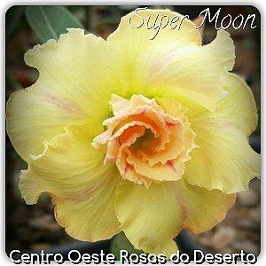 Muda de Enxerto - Supermoon - Flor Dobrada Amarelo - Cuia 21 (2 a 3 enxertos)