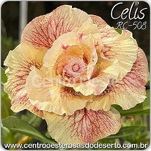Muda de Enxerto - Celis (RC-508) - Flor Tripla Importada - Cuia 21 (e enxertos)