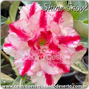 Muda de Enxerto - Shine Snow - Flor Tripla Importada