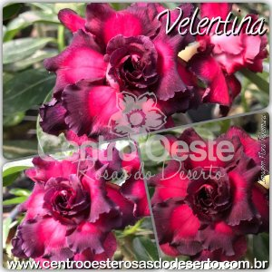 Muda de Enxerto - Valentina (DJC-5) - Flor Tripla