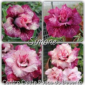 Rosa do Deserto Muda de Enxerto - Simone - Flor Tripla