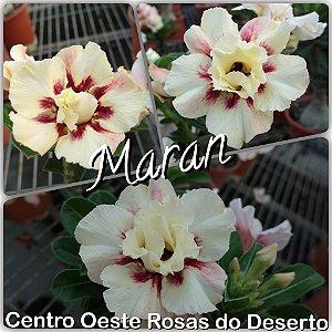 Muda de Enxerto - Maran - Flor Dobrada Importada - Cuia 21 (3 enxertos)