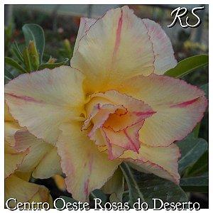 Muda de Enxerto - RS - Flor Tripla
