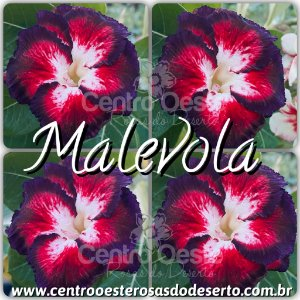 Muda de Enxerto - Malevola - Flor Dobrada
