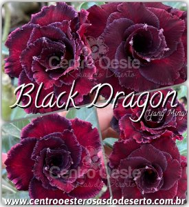 Rosa do Deserto Enxerto - BLACK DRAGON