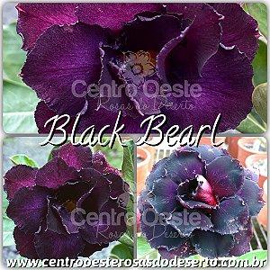Rosa do Deserto Muda de Enxerto - Black Bearl (RC539) - Flor Tripla