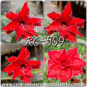 Rosa do Deserto Muda de Enxerto - Cherry Red (RC-509) - Flor Tripla