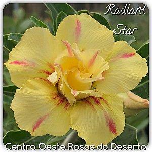 Muda de Enxerto - Radiant Star - Flor Dobrada