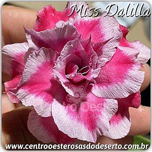 Rosa do Deserto Muda de Enxerto - Miss Dalilla - Flor Tripla