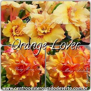Rosa do Deserto Muda de Enxerto - Orange Lover - Flor Tripla