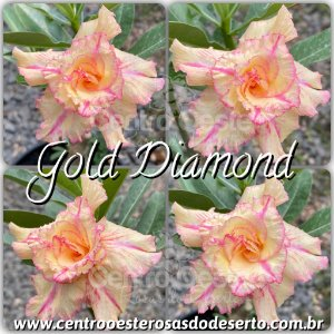 Rosa do Deserto Muda de Enxerto - Golden Diamond - Flor Dobrada