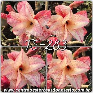 Rosa do Deserto Muda de Enxerto - TS-283 - Flor Dobrada