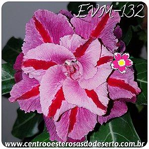 Rosa do Deserto Muda de Enxerto - EVM-132 Flor Tripla