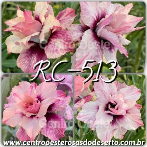 Rosa do Deserto Muda de Enxerto - RC513 - Flor Tripla