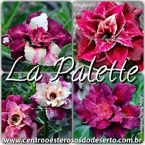 Rosa do Deserto Muda de Enxerto - La Palette - Flor Tripla