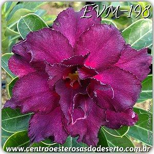 Rosa do Deserto Muda de Enxerto - EVM-198 - Flor Tripla