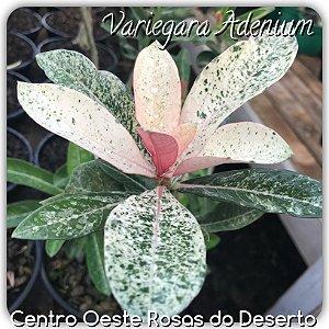 Rosa do Deserto Muda de sementeira - VARIEGATA - Flor Simples