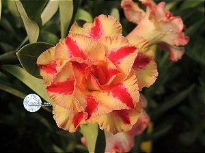 Semente Mr-KO 56 - Kit com 5 sementes Flor Tripla