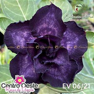 Rosa do Deserto Enxerto - EV-006