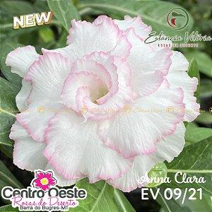Rosa do Deserto Enxerto - EV-009 Anna Clara