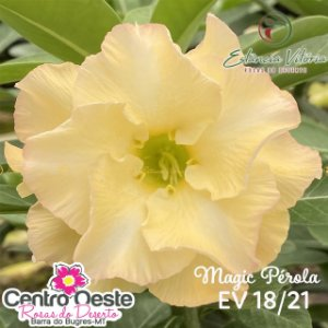 Rosa do Deserto Enxerto - EV-018 Magic Pérola