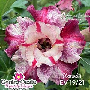 Rosa do Deserto Enxerto - EV-019 Xanadú